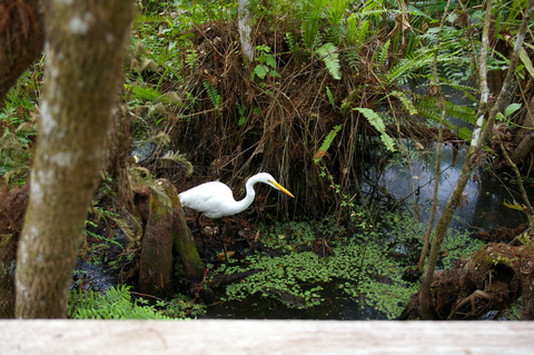 Great egret and cypress knee
