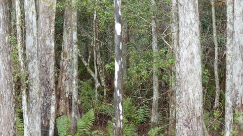Dalmatian tree