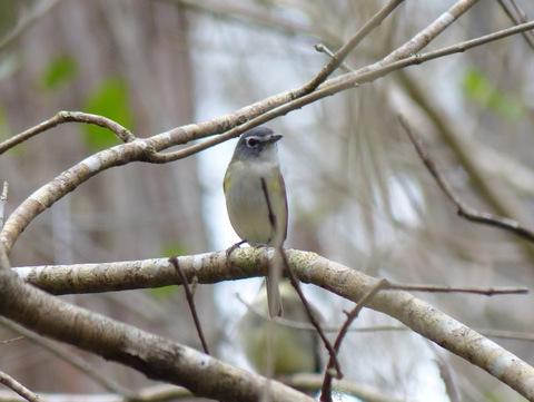 Alder Flycatcher, migratory