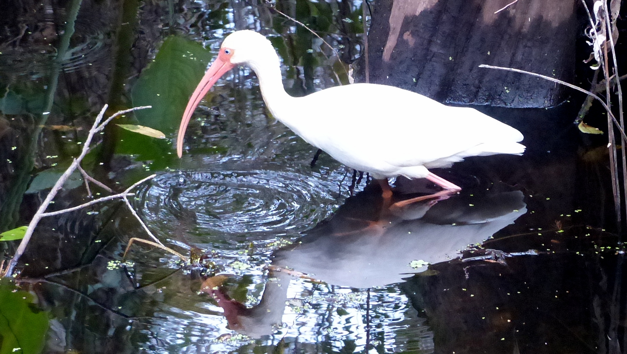 Ibis as Narcissus