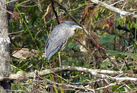 Juvenile Night Heron, sleeping it off